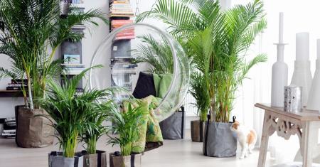Set van 2 luchtzuiverende Areca palmen