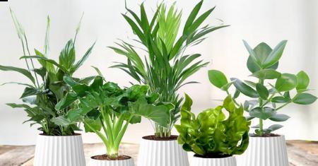 Set van 5 luchtzuiverende planten