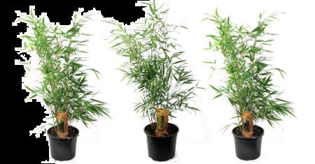Set de 3 bambous de 30-40 cm