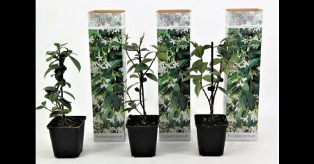 3 Toscaanse jasmijnplanten voor € 19,99