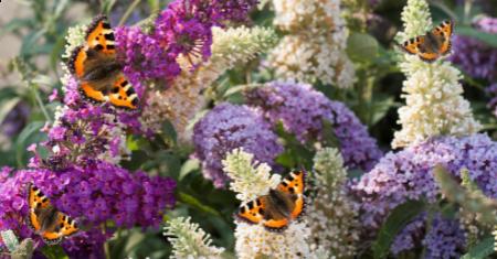 Set van 3 Buddleja Vlinderstruiken