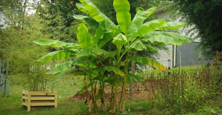 Set van 2 winterharde bananenbomen