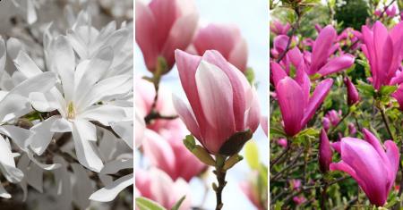 Un set de 3 des plus belles variétés de Magnolias !