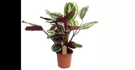 1 luchtzuiverende Calathea Pauwenplant Marion