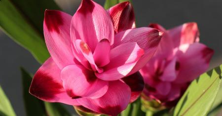 "Plante Curcuma Splash XL ""tulipe siamoise""."