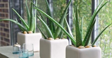 Set de 3 plantes d'Aloe vera à 22,95€