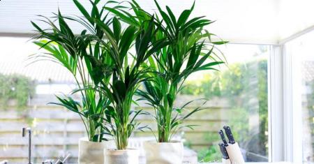 Grote Kentia kamerplant met 44% korting