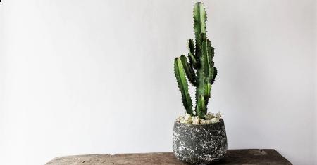 Trendy Euphorbia cactus