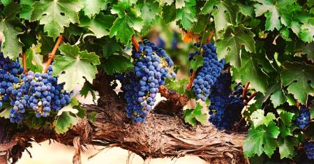 Ensemble de 3 plants de vigne à raisins de couleurs différentes