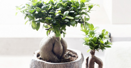 Bonsai boompjes voor beginners – 49%