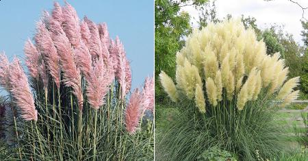 Set van 3 witte of roze pampasgrassen