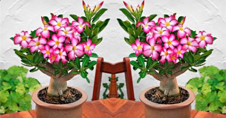 Set de 2 Roses du désert