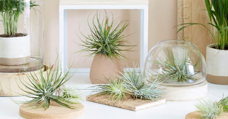 Set van 6 of 12 super trendy Tillandsia luchtplanten