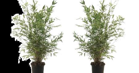 Set de 2 bambou non invasifs à tiges violet-noir