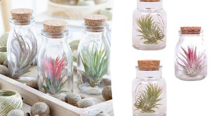 Set van 3 of 6 Tillandsia's in glazen deco flesjes met kurk